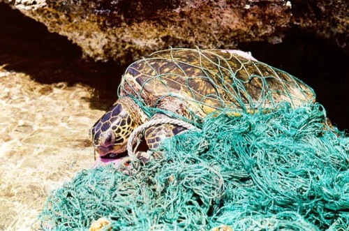 turtle-in-fish-net