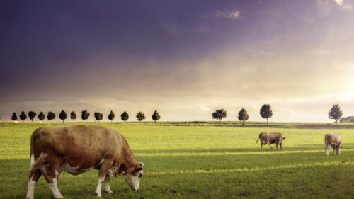 cows-in-the-field